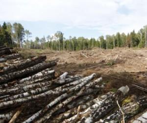 «Наши» вступились за Цаговский лес, но брёвна — власти не помеха.
