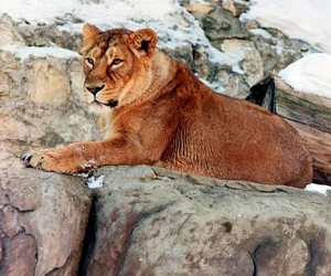 Московский зоопарк устраивает праздник в честь азиатского льва