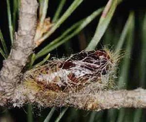 Леса Подмосковья заселят жуками-убийцами
