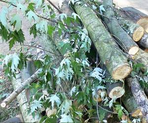В центре Москвы незаконно спилили почти 400 деревьев