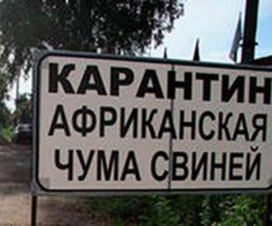 Африканская чума свиней уже в Польше, и вскоре собирается в Москву