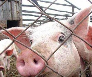 В Москве изъяли 65 тонн опасной свинины