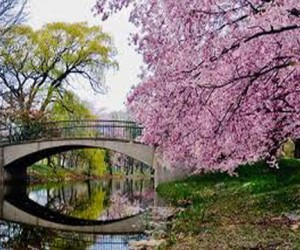 В Москве цветёт сакура