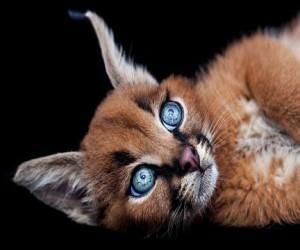 В Москве нашли похитителей дорогущего котёнка каракала