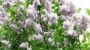 В Москве возрождён уникальный Сиреневый сад
