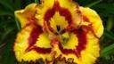 Посетители «Аптекарского огорода»  6 августа смогут получить лилейники в подарок