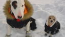 Московским собачникам рекомендуют обувать животных на время прогулки